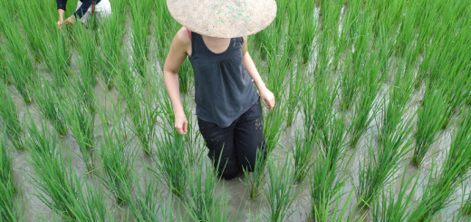 laos-luang-prabang-rice-farm-4